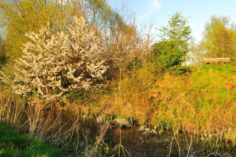 Cerisier Bois Puant : Prunus padus