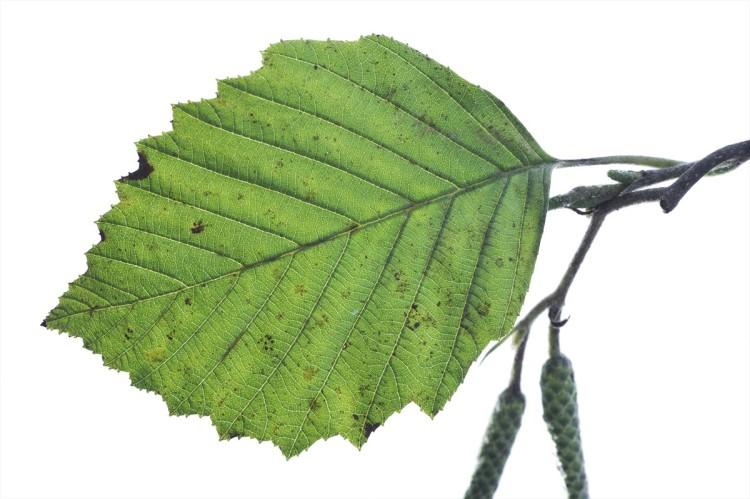 Bomenwijzer nederlands witte els franais aulne blanc english grey alder deutsch grau erle familie betulaceae stopboris Gallery